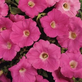 Image result for petunia wave pink