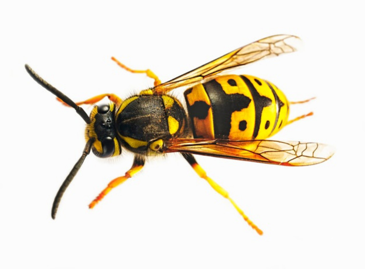 What Eats Wasps