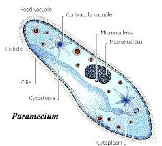 kate h s bio 20 blog protista Pseudopodia Protists Animal Like Protists