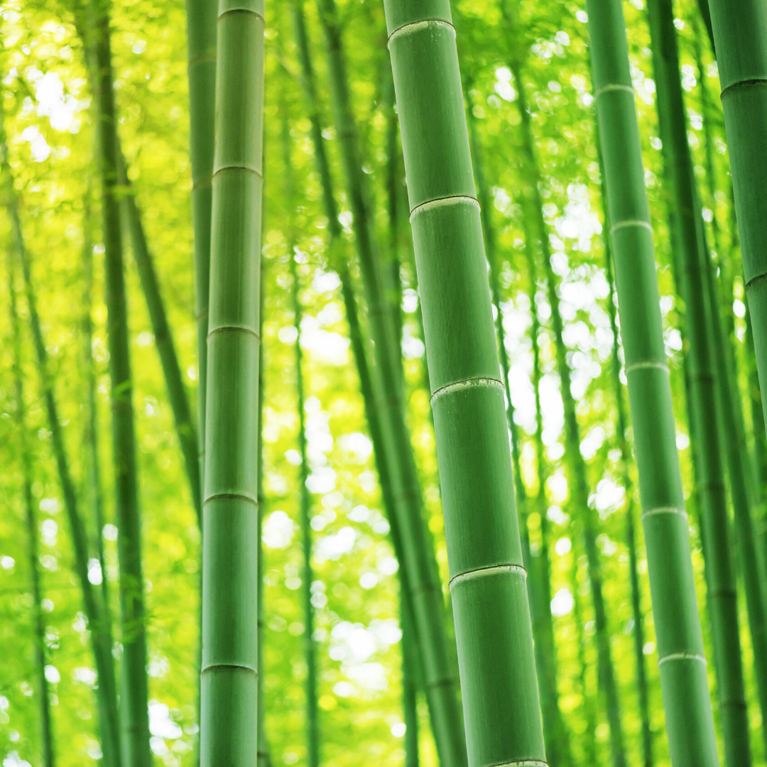 Bamboo stalks grown to be used for tree free paper applications