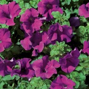 Surfinia® Giant Blue - Petunia hybrid
