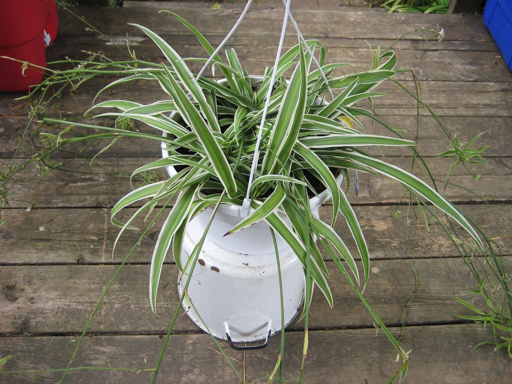 Lili Paris tanaman hias pemula