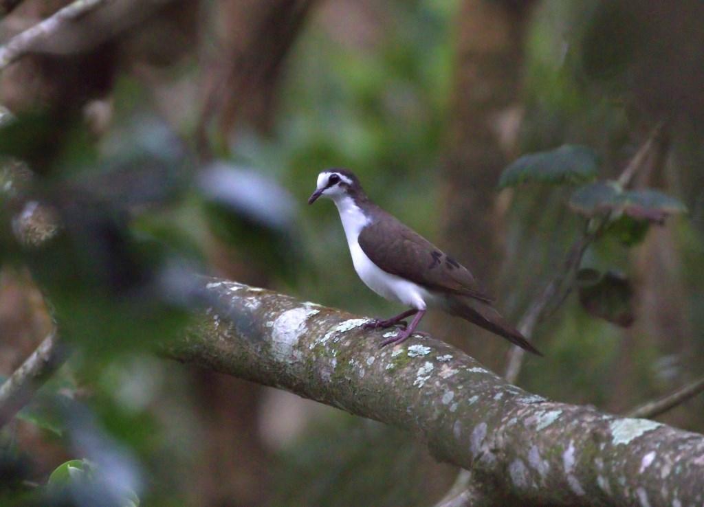 tambourine dove (Copy).jpg