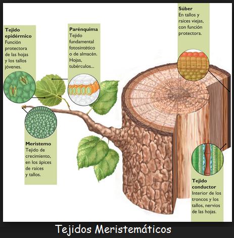 Clasificaci n de los tejidos vegetales for Plantas fundamentales