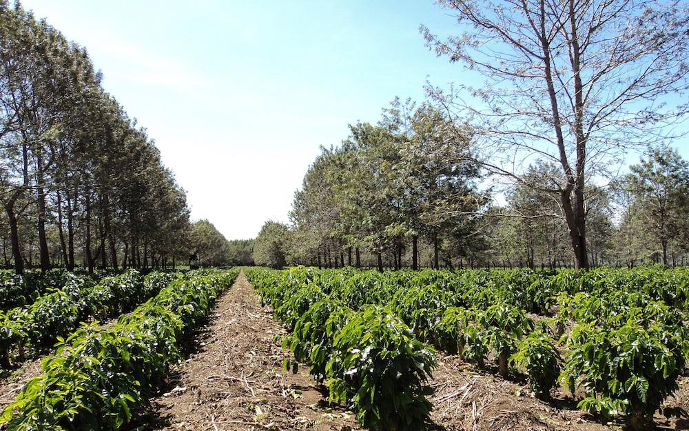 coffee plants on farm