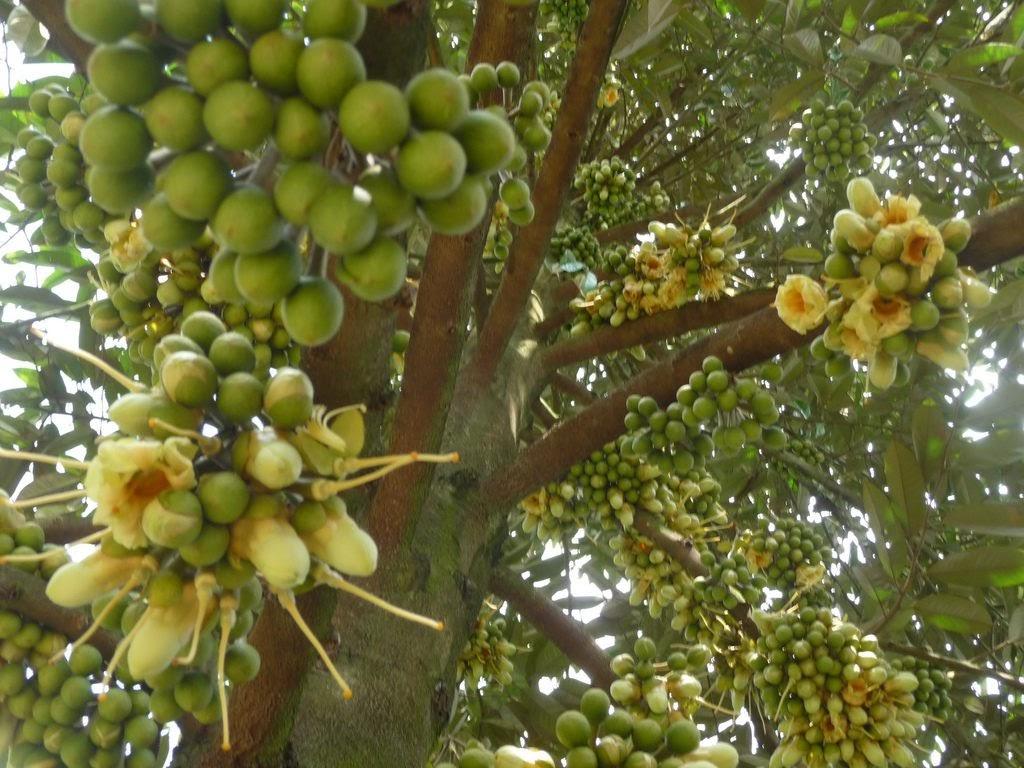 Beetrees-cây-sầu-riêng-ri6-trồng-bao-lâu-thì-có-trái-4