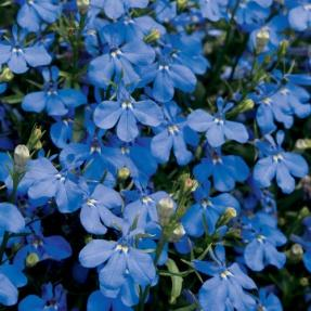 Lucia® Dark Blue - Lobelia erinus