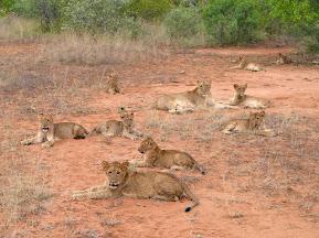 Ruhendes Löwenrudel