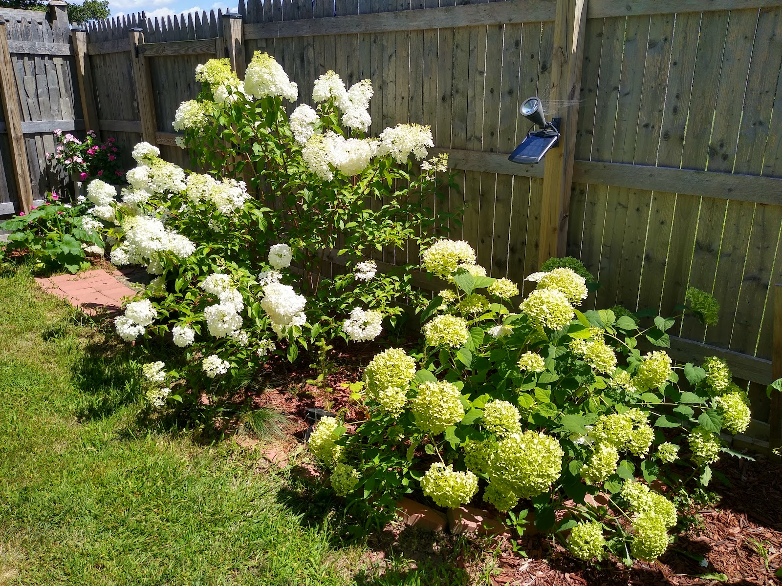 vanilla strawberry hydrangea and incrediball hydrangea picture