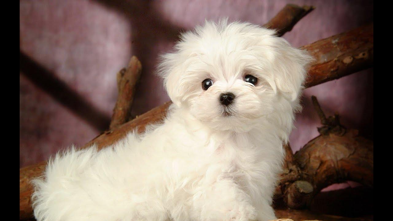 Giá của chó Poodle