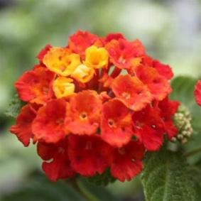 Image result for Lantana dallas red