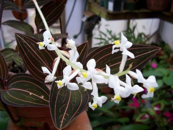 Цветущая драгоценная орхидея