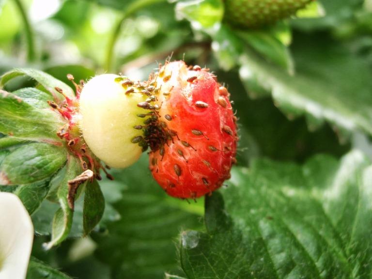 Deficiência de boro em morango