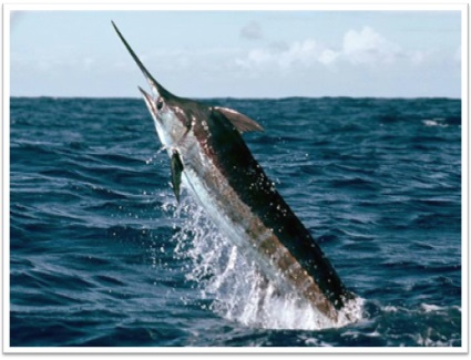 Blue Marlin-Top Big  Game Fish Found in Louisiana