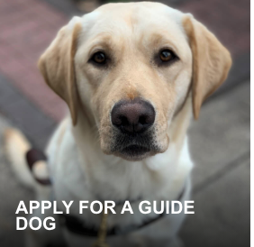 "Alt text for this photo reads: ""Destiny, a female yellow Labrador retriever guide dog, sits on the curb while in harness and looks up with big brown eyes."""