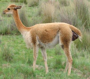 Phase d'expulsion du foetus de la vigogne