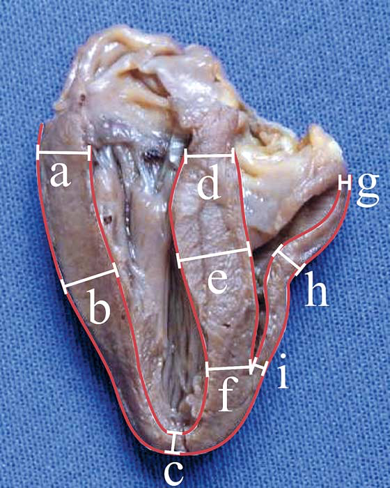 Heart of a common buzzard (Buteo buteo)