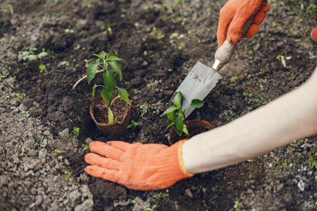 Manos de mujer en guantes plantando plantas jóvenes Foto gratis