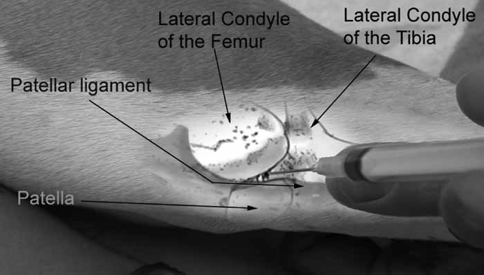 Arthrocentesis of the lateral stifle joint