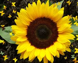 Image result for sun flower