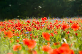 Image result for flower field