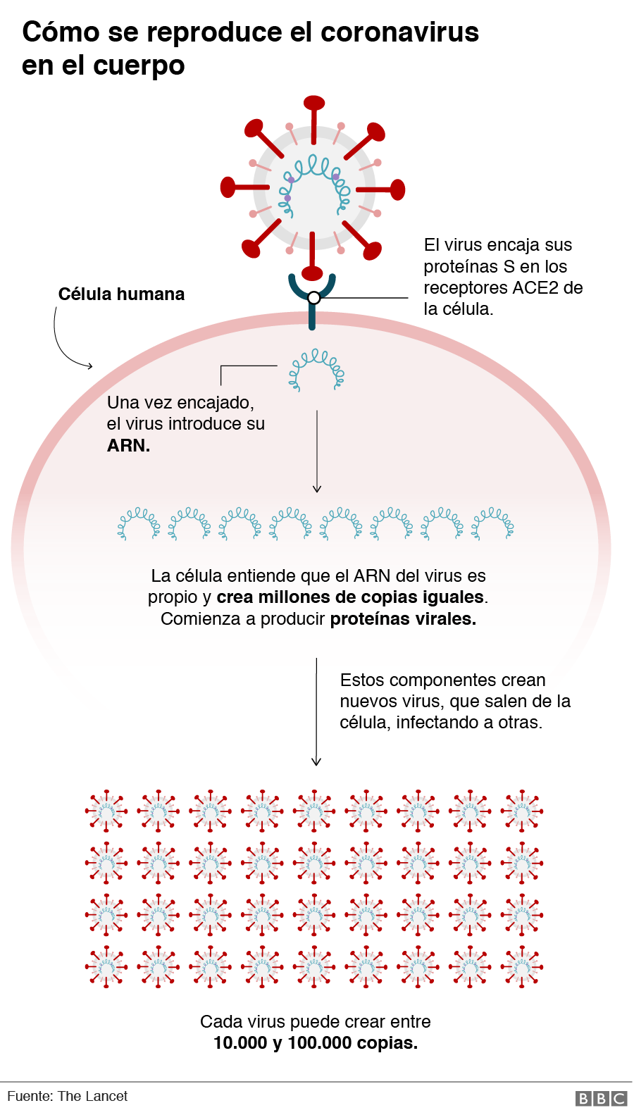 Gráfico de cómo se reproduce el coronavirus en el cuerpo