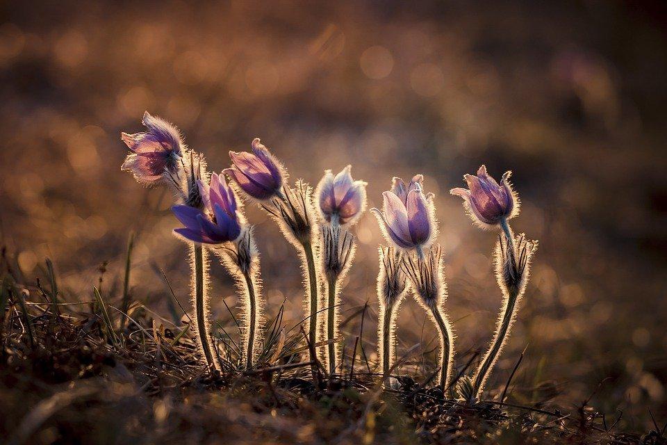 Flowers, Anemone, Pulsatilla Grandis, Nature