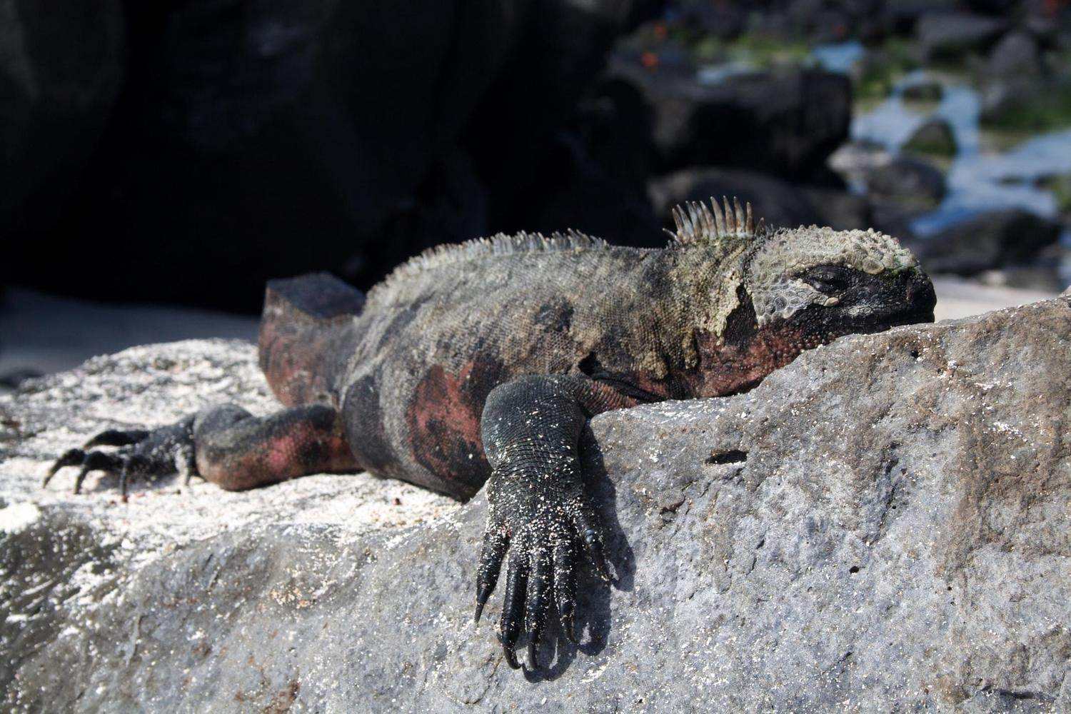 Image result for MARINE IGUANA SLEEPING TOGETHER