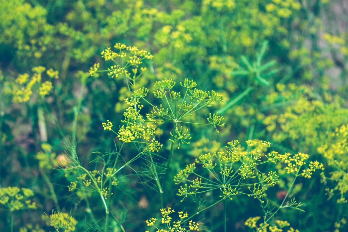 Herbs for Dogs Dill