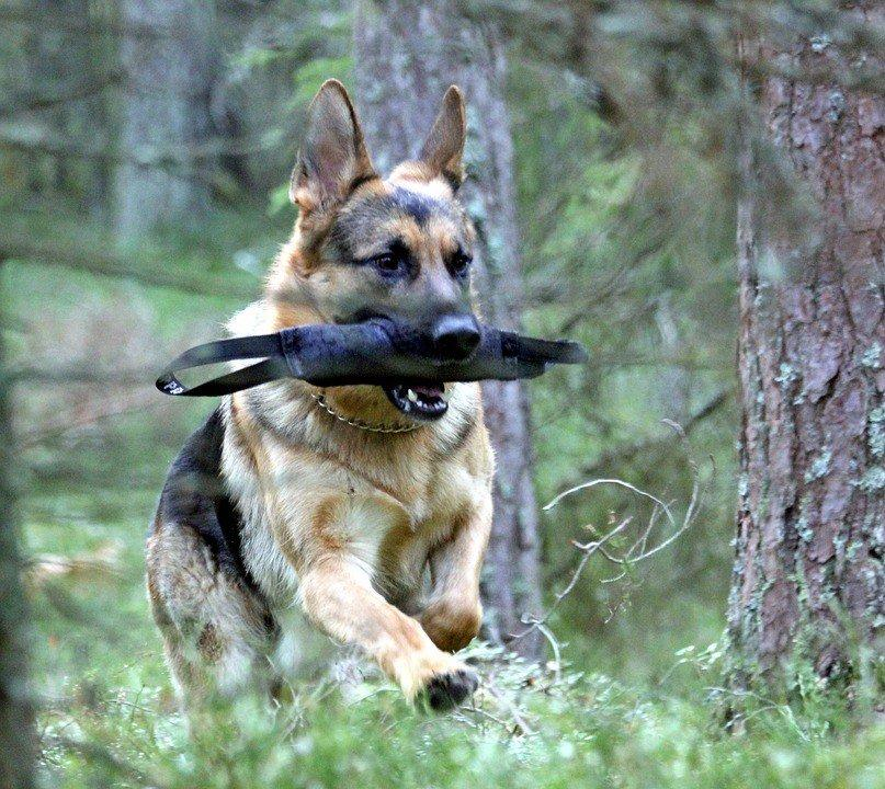 The Ultimate Guide to German Shepherd Training