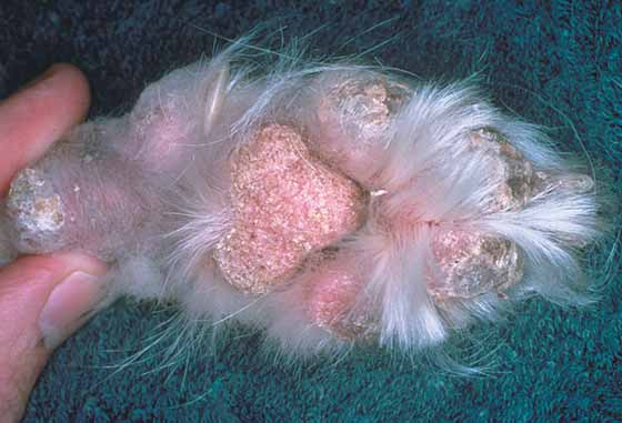 Foot-pad hyperkeratosis and crusting in a 9-year-old, spayed German Shepherd with metabolic epidermal necrosis