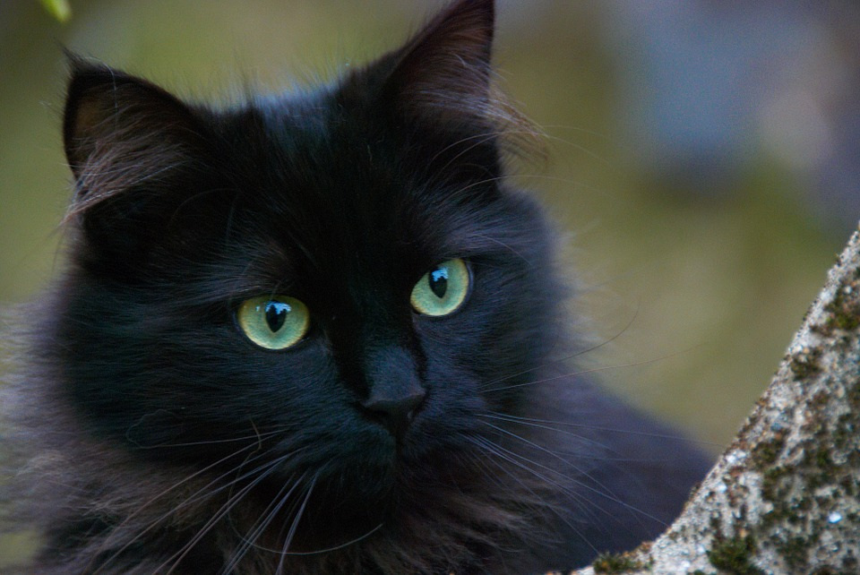 Black Cat, Cats, Portrait Of