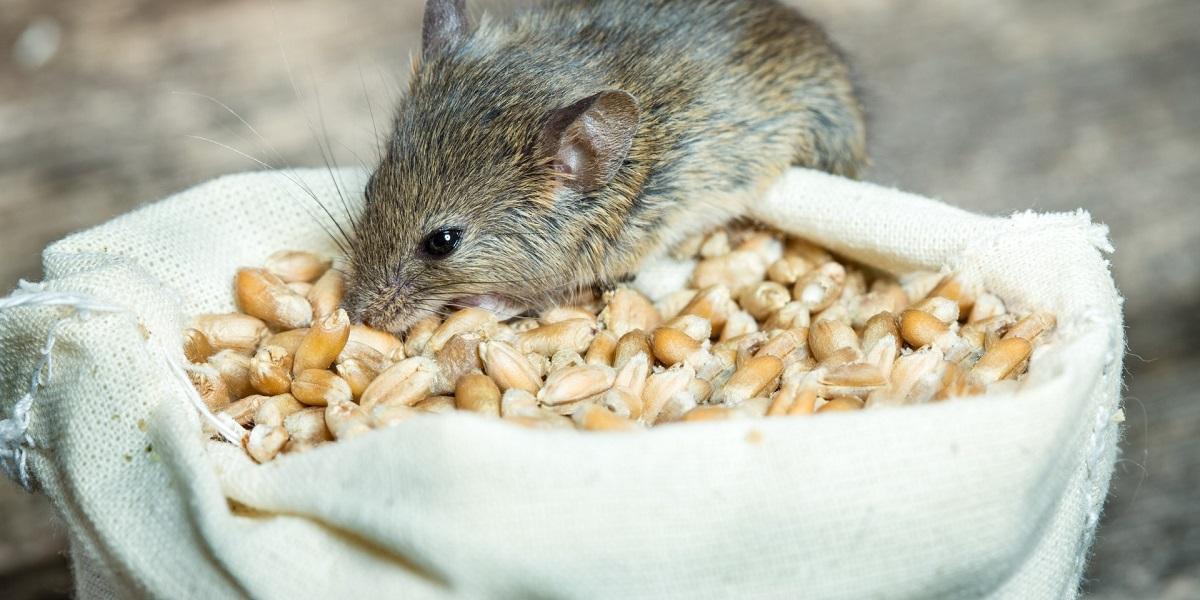 Uma imagem contendo animal, mamífero, comida, pequeno  Descrição gerada automaticamente