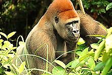 http://upload.wikimedia.org/wikipedia/commons/thumb/2/24/Gorilla_gorilla11.jpg/220px-Gorilla_gorilla11.jpg