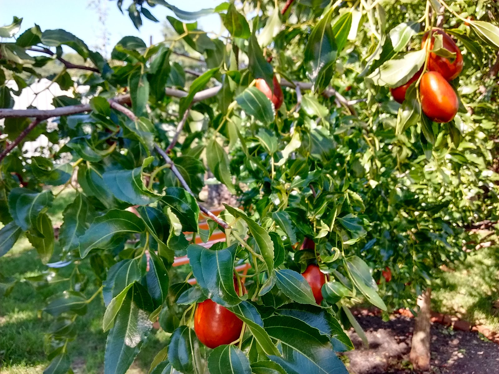 Late-Season Ripeners: A How-to on harvesting and preserving Jujubes