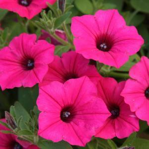 Image result for petunia vista fuchsia