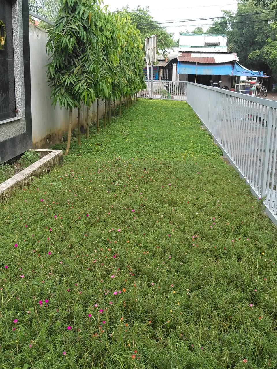 Trồng cỏ ở Bình Dương cũng cần được chú trọng