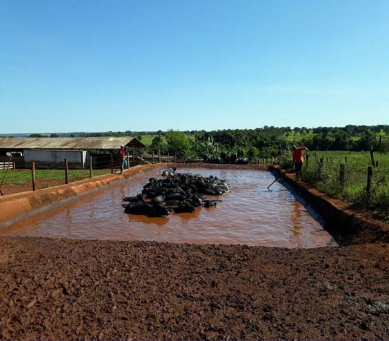In some cases, the use of artificial swimming pools should be recommended and used to attenuate the thermal stress of dairy buffaloes in southern hemisphere countries.