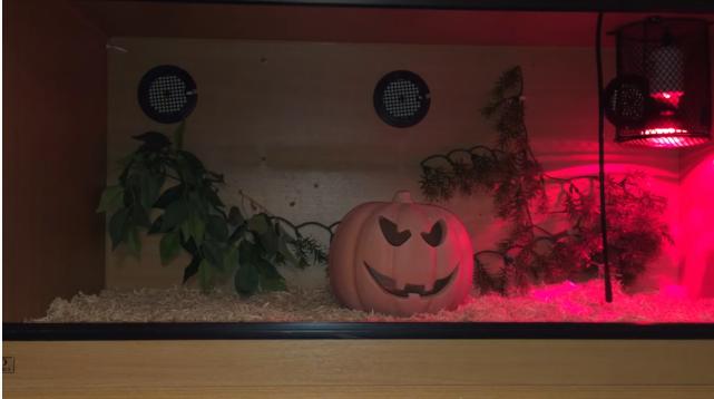 Snake tank with ceramic pumpkin