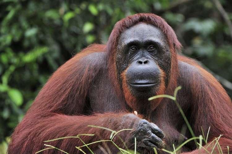 Résultat de l'image pour Sumatran Orangutan h