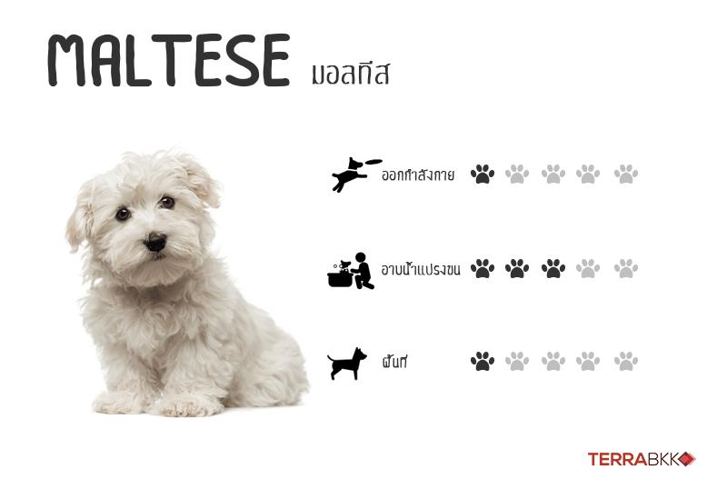 9. มอลทีส (Maltese)