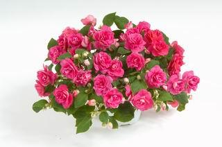 Image result for impatiens musica pink energy