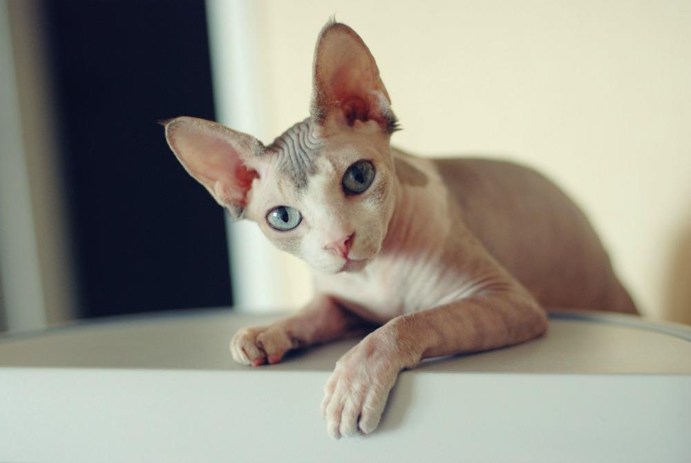 chăm sóc vệ sinh cho mèo sphynx