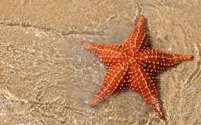 Image result for starfish