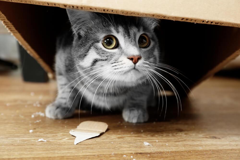 grey cat hiding in a cardboard box