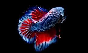 ผลการค้นหารูปภาพสำหรับ ปลากัด