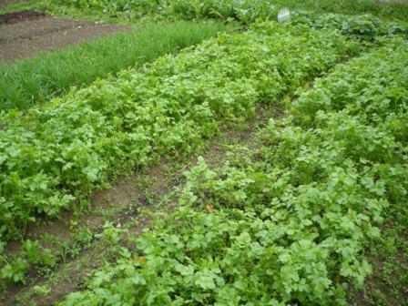Как происходит подготовка к посадке и сама посадка сидерата на огороде