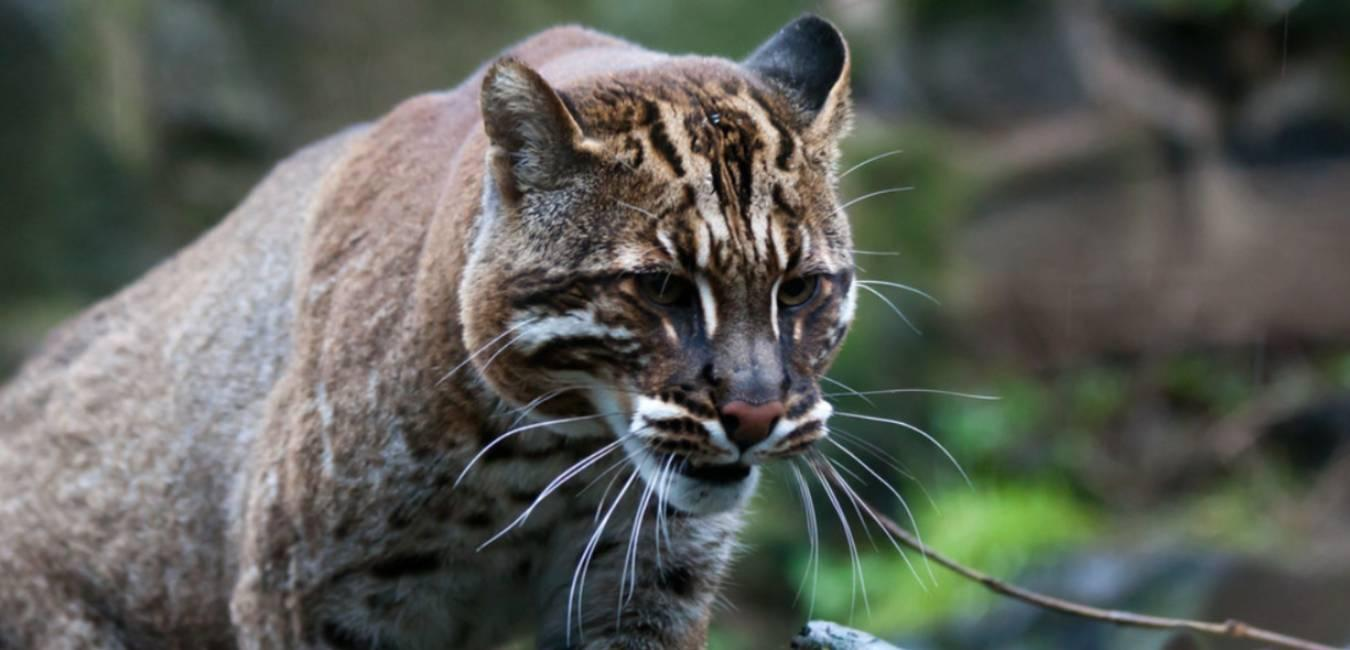 Image result for In Arunachal, the golden cat wears new colours