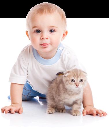 Котенок шотландской вислоухой кошки и ребенок