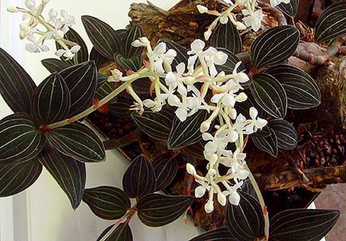 Цветущая пестролистная орхидея